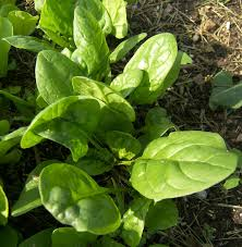 http://www.eatlikenoone.com/harvesting-baby-leaf-spinach-catalina.htm